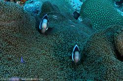 BD-090924-Bunaken-9243767-Amphiprion-polymnus-(Linnaeus.-1758)-[Saddleback-clownfish].jpg